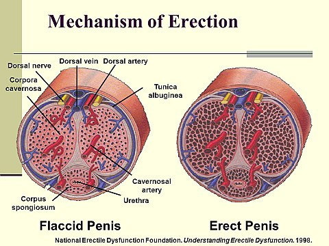 érzések a pénisz erekciójával
