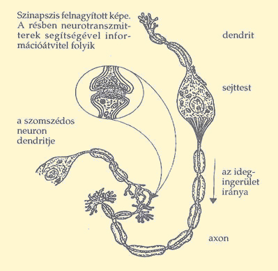 Az erekció és ejakuláció folyamatai: Ezt történik színfalak mögött