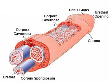 pénisz erekció show