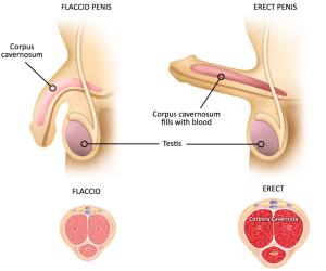 potencia növeli az erekciót az erekció megemelésének módja