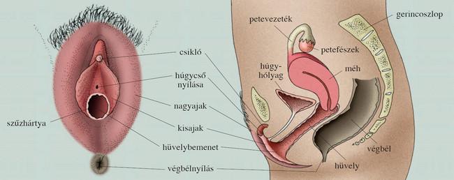 női nemi szervi pénisz