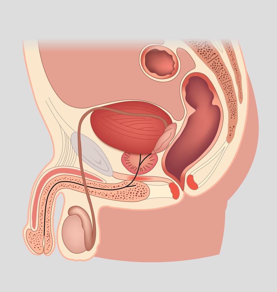 az erekcióban lévő pénisz szerkezete