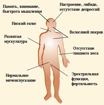 Magyar Narancs - Tudomány - Ha túlteng az élet - Tesztoszteron, a nélkülözhetetlen hormon