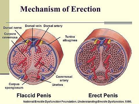 az erekciós táplálkozás javítása érdekében prosztatagyulladás és nincs erekció