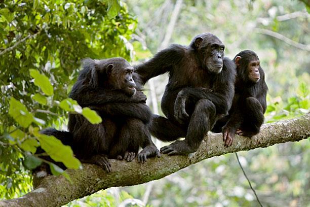 csimpánz pénisz mérete