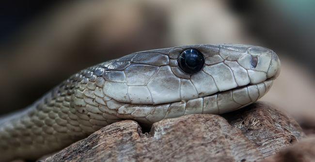 kígyó a péniszen