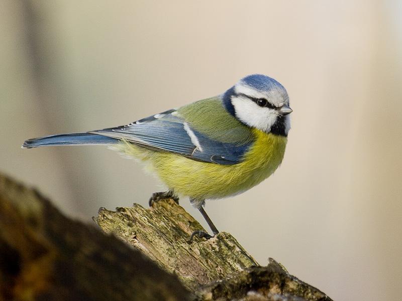 Kiderült, miért nincs a madaraknak péniszük