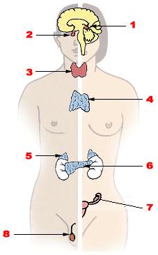 Hormonzavarra utaló jelek férfiaknál