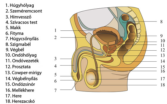 7 tény, amit még biztosan nem tudtál a férfi nemi szervről   Well&fit